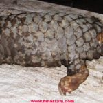 A large number of 'saphu' or pangolin are found in the forest of Hmar Hills along the Manipur-Mizoram border. However, their numbers have gone down drastically over the last one decade as the mammals are hunted for their scales by the villagers. This endangered animal could soon become extinct in the region if the government and animal rights activists fail to create an awareness along with action on the ground to save them.